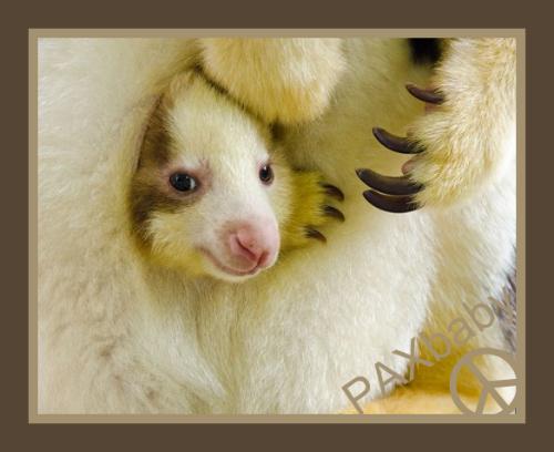 PAXbaby Kangaroo baby